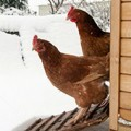 Two brown chickens leaving their coop for the snow