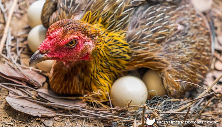 broody hen trying to incubate too many eggs on the ground