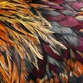beautiful chicken plumage, showing the variety of feather types