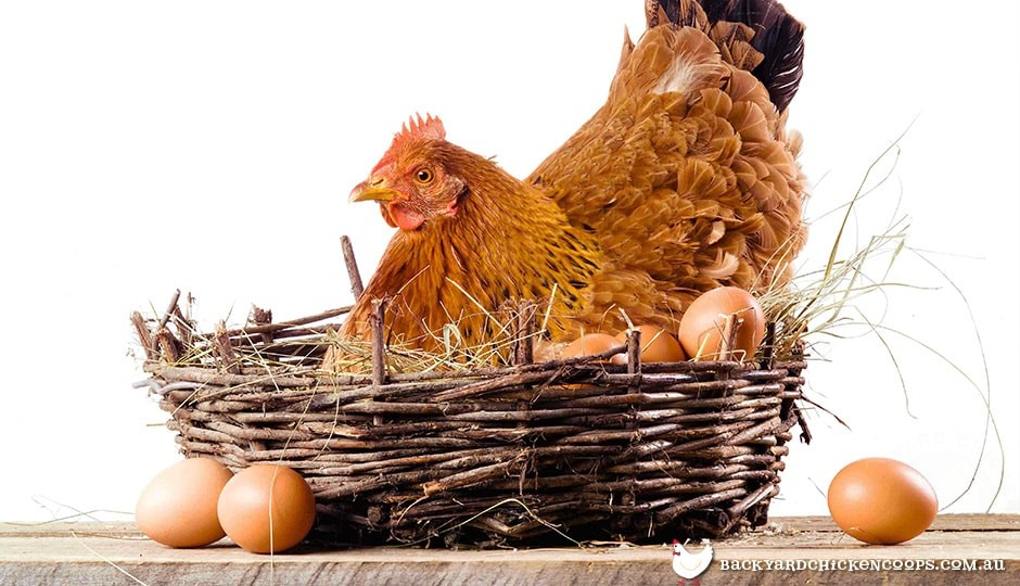 broody chicken sitting on a clutch of eggs on straw