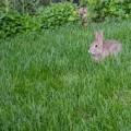 Rabbit hopping through backyard grass