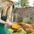 happy young woman feeding her healthy isa brown hen