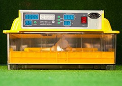 an incubator is the most important tool for hatching baby chicks