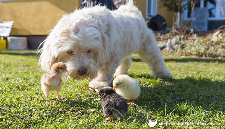 a friendly dog can be the best protection for your flock