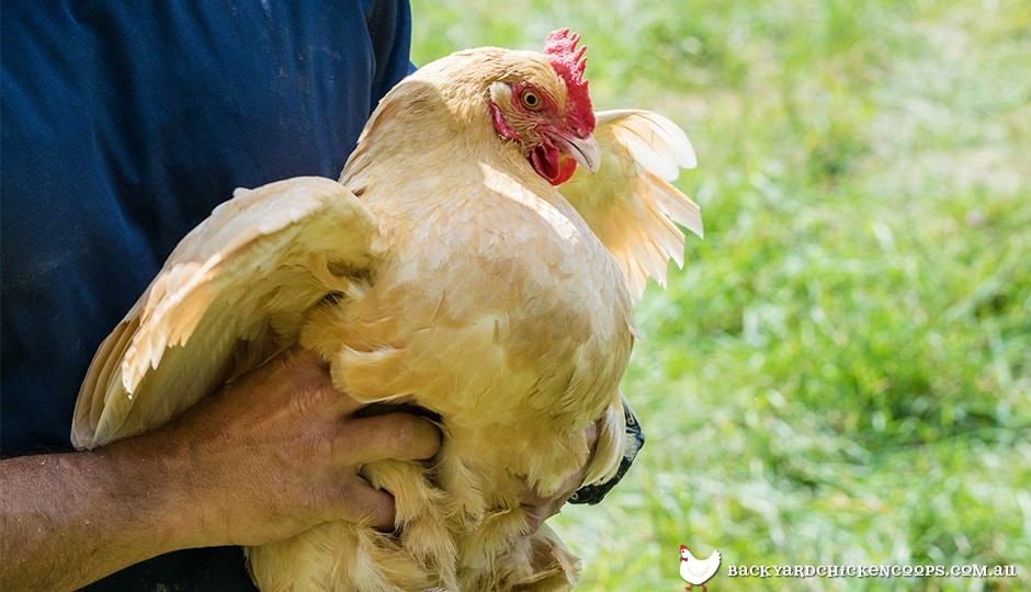 in order to check your chicken for worms it helps to be able to handle your hen