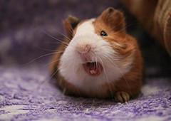 understanding the sounds guinea pigs use to communicate makes it easier to care for them