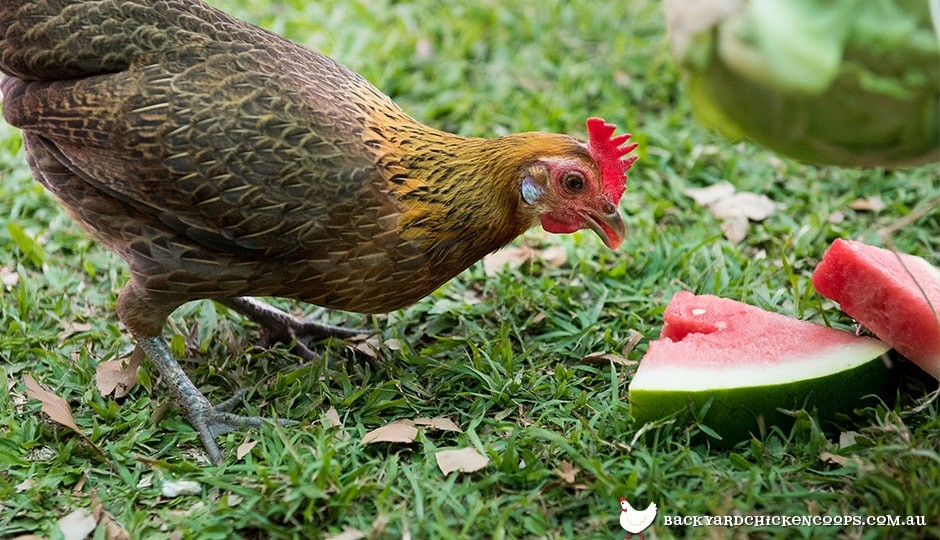 watermelon is a favourite treat for backyard chickens