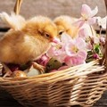 chicks will grow up to be happy and healthy if raised right in spring