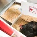 Black Australorp bantam chicken laying in taj mahal nesting box