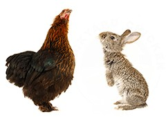 Chickens and rabbits can become fast friends