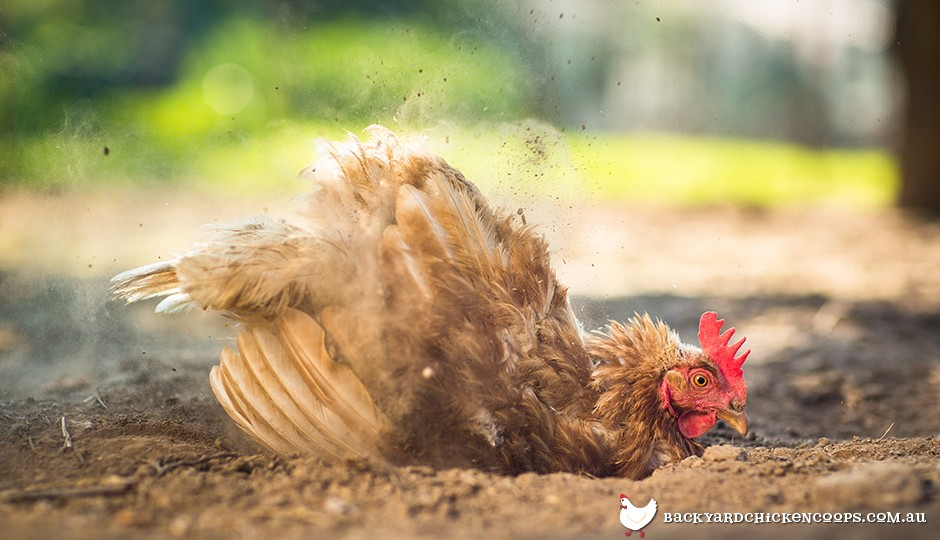 For backyard chickens dust bathing is the best way to keep clean