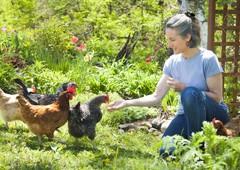 lady-feeding-domestic-chickens-in-backyard
