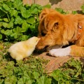 Puppy with baby chicks
