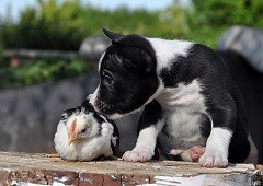 Black and white puppy dog with baby chicken
