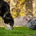chicken-and-dog