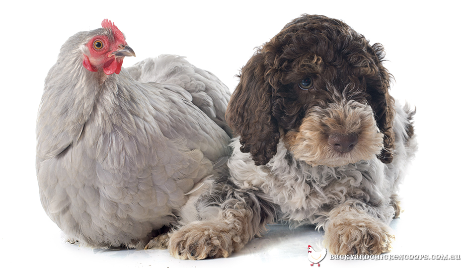 Grey-chicken and dog