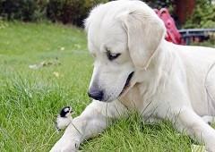 Dog with baby chicken in garden