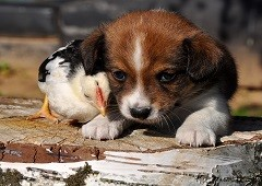 Puppy dog and chicken together