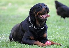 rottweiler-dog-with-chicken