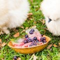silkies-eating-frozen-berries