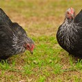 Two cochin chickens in backyard