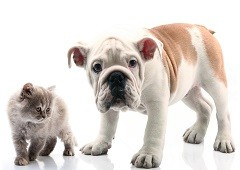 Bulldog and cat kitten