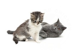 Kitten and cat together
