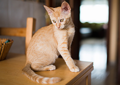 Orange cat kitten on table inside