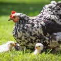 Why-you-should-keep-chickens-this-year