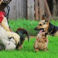 german-shepherd-pup-with-chickens