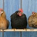 three-bantam-chickens