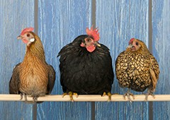 three-bantam-chickens