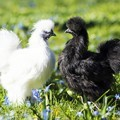 white-and-black-bantam