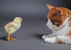 Baby chick and cat together