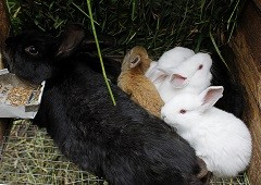 Black rabbit with small white and tan rabbits
