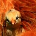 Baby chicken nestling in mother hen plumage