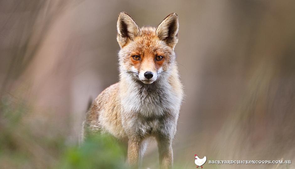 Predator fox in backyard