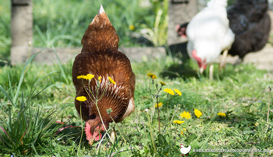 Chickens eating weeds in backyard
