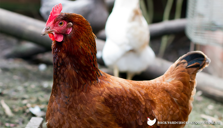 The Top Best Laying Hens For Backyard Chickens - Backyard poultry information centre australia