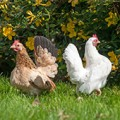 Bantam chickens foraging in backyard