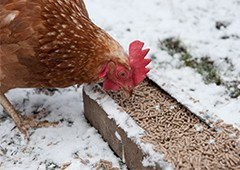 chicken-eating-pellets-in-snow