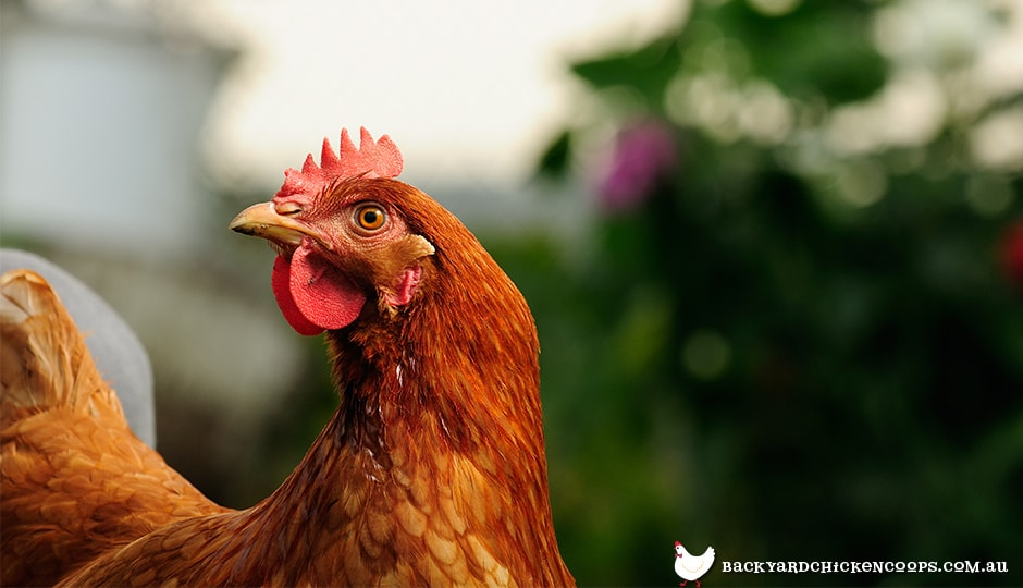 ISA Brown chicken