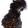 Frizzle chicken profile