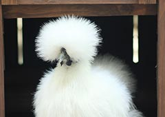 Silkie chicken in backyard chicken coop