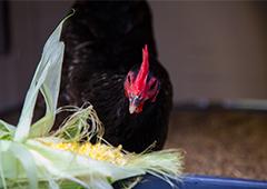 chicken eating corn in backyard coop