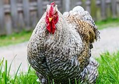 Cochin chicken in grass
