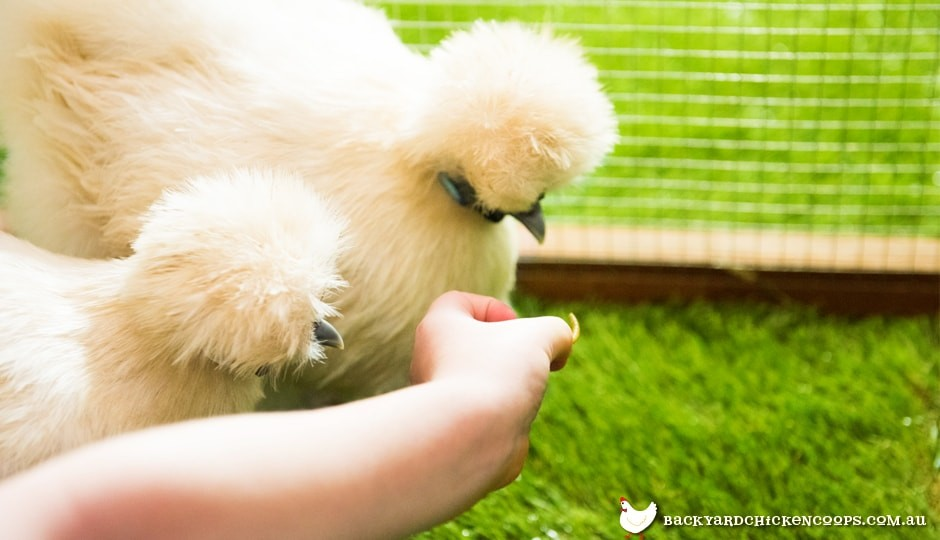 feeding-chickens-mealworms-as-a-treat