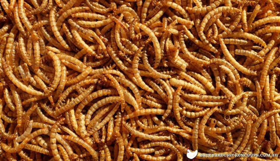 Dried mealworms out of the packet.