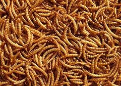 Close up of mealworms