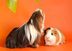 Two guinea pigs posing and eating
